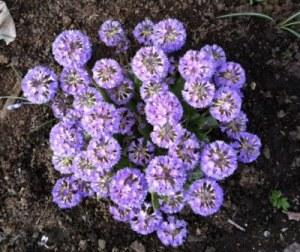 Spring flowers growing on Nakusp promenade