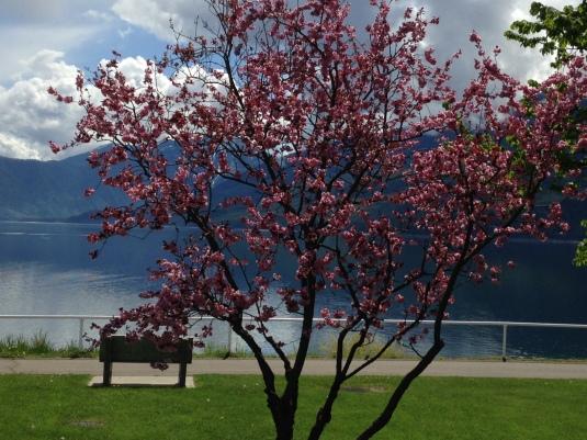 Tree in bloom on waterfront promenade
