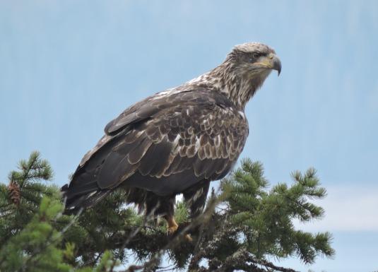 Golden Eagle at Serenity Views