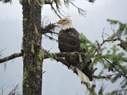 Bald eagle at Serenity Views