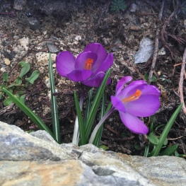 Purple crocuses at Serenity Views